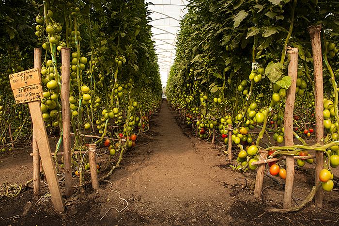 2-I pomodori della Jittu, quasi pronti per volare verso i supermercati di Dubai o Riyadh. Anche semi, macchinari e prodotti chimici utilizzati nella coltivazione vengono dall'estero