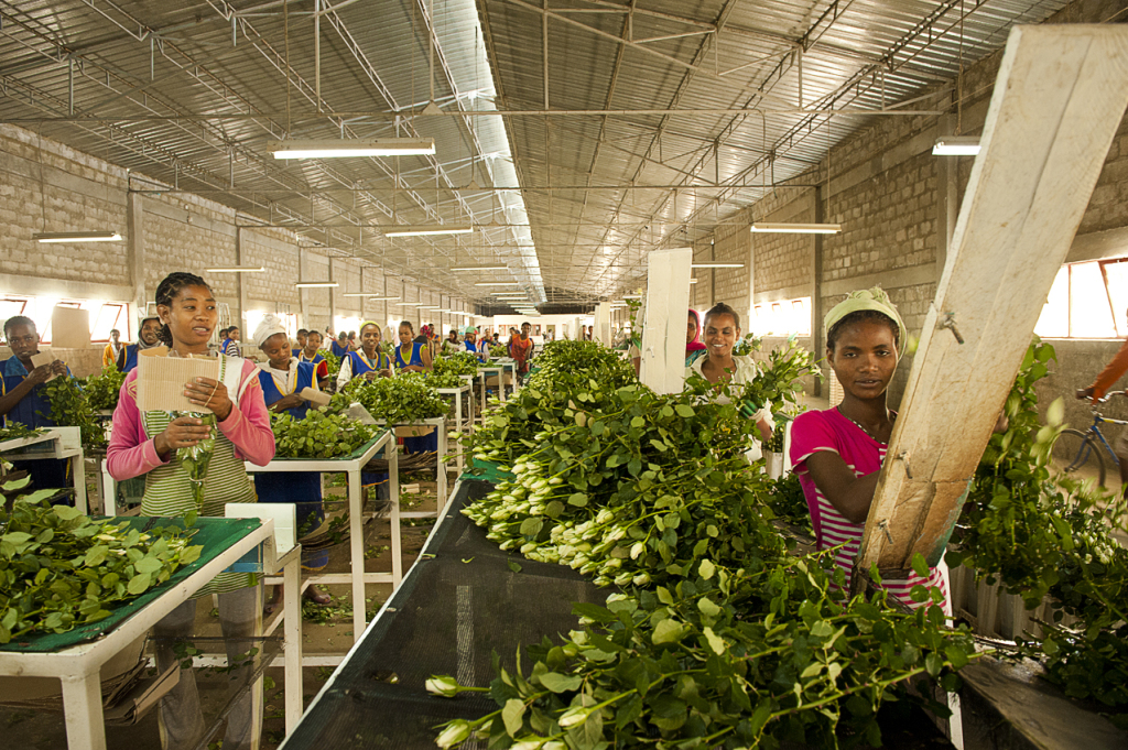 2.Sher workers in Ziway sorting roses per stalk length. They earn less than 30 euros per month
