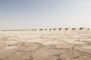 Salt caravan proceeding along the Danakil region
